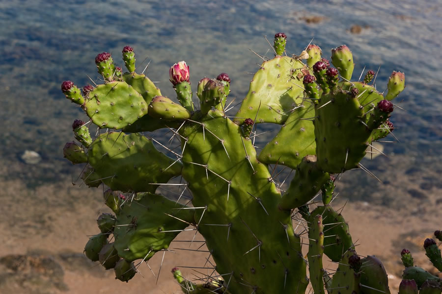 Prickly Pear lower total cholesterol levels